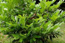 portugiesischer kirschlorbeer als hecke