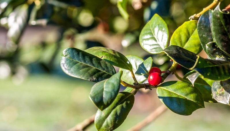 Zurück zu der Rolle, die Prunus Laurocerasus in heimischen Gärten spielt: Wer diese Pflanzen als Heckenpflanze nutzen möchte, der sollte in erster Linie ihre Wuchseigenschaften beachten. (#03)