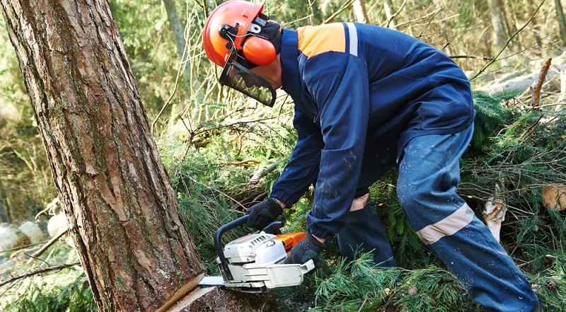 Ist die Frage nach der Genehmigung geklärt, kann man den Baum fällen.