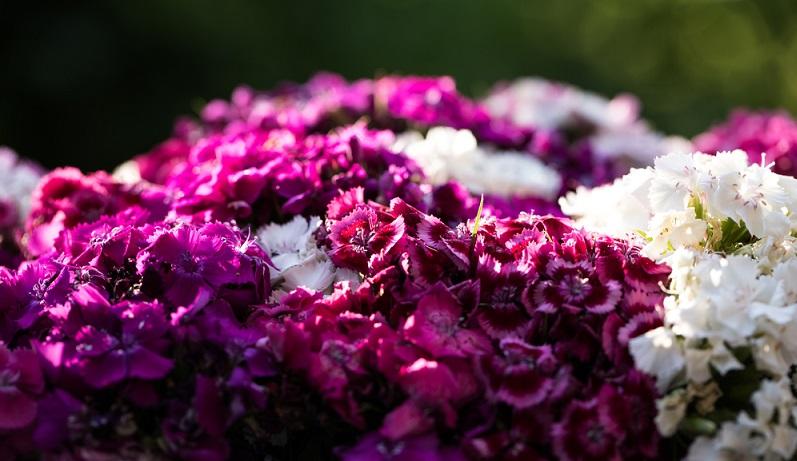 Teilweise werden die Sommerblumen nach einem Farbschema ausgewählt. Wer in seinem Garten ein kräftiges Rosa oder Rot einsetzen möchte, der kann auf die Bartnelken zurückgreifen.