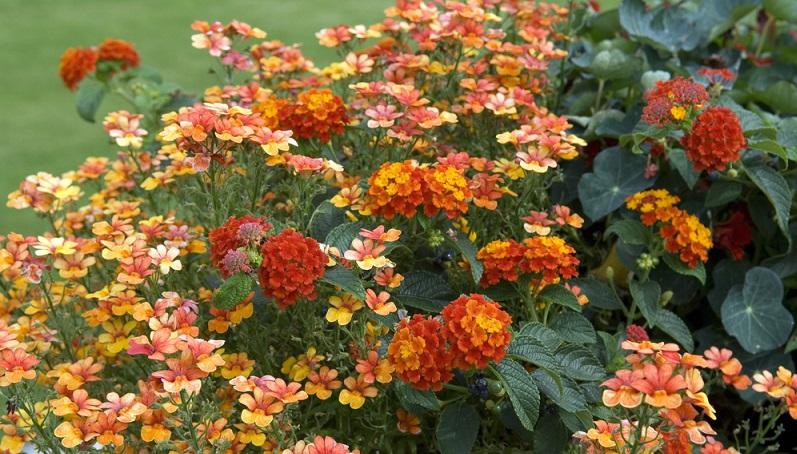 Sommerblumen, wie der Elfenspiegel, sind sehr filigran und elegant. Er ist Teil der Rachenblütler und gilt als Sorte, die ihren Ursprung in Südafrika hat.
