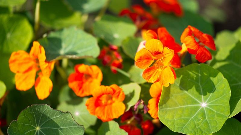 Die Kapuzinerkresse ist eine der Sommerblumen, die essbare Blüten mitbringt.