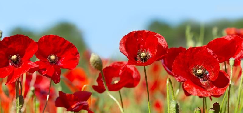 Der Klatschmohn ist eine Sommerblume, die immer wieder auf Feldern zu sehen ist. Sie macht aber auch im Garten eine gute Figur.
