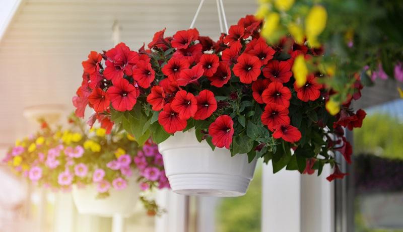 Die Petunie ist eine beliebte Zierpflanze. Als Sommerblumen werden die Pflanzen besonders gerne eingesetzt, da sie eine hohe Blühkraft und eine lange Blütezeit haben.