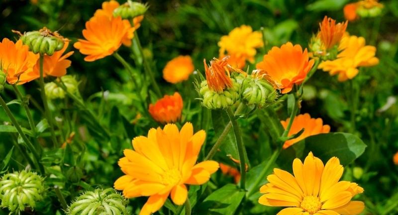 Auf der Suche nach Sommerblumen, die nicht viel Aufmerksamkeit benötigen, kann sich ein Blick auf die Ringelblume lohnen.