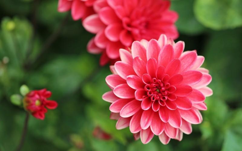 Dahlien zeigen von Natur aus eine hohe Variabilität, und so sind im Laufe der Zeit mehrere Tausend Sorten mit fast allen Blütenfarben und oft auch mehrfarbigen Blüten entstanden. Lediglich reines Blau und tiefe Violetttöne gibt es nicht. (#2)