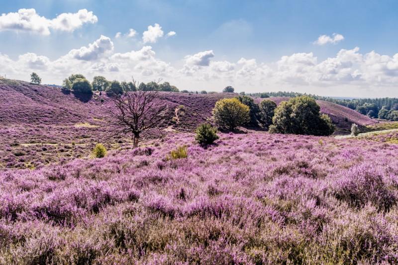 Große und wunderschön blühende Erika - das lila blühende Heidekraut - ziehen sich über die Hügel des Nationalpark Veluwe. (#5)