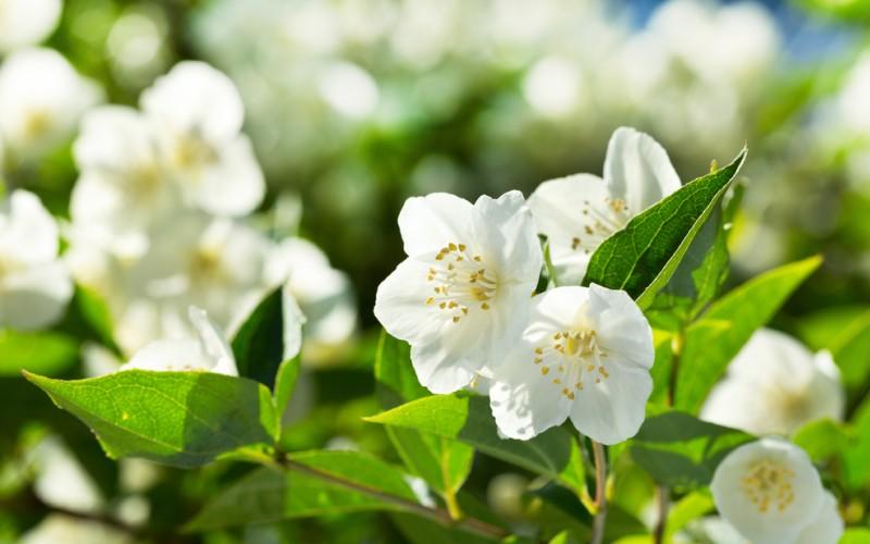 Der wunderschönen weißen, rosanen oder gelben Blüten des Jasmins versprühen einen betörenden Duft machen ihn zu einer der beliebtesten Zierpflanzen. (#4)