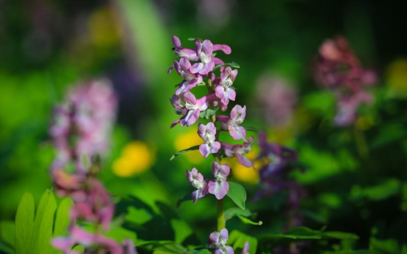 """Der Name Lerchensporn (Corydalis cava) kommt aus dem lateinischen. Cava ist die weibliche Form vom lateinischen """"cavus"""" und bedeutet """"hohl"""". Wenn man nach der Wurzel gräbt, kommen Knollen  zum Vorschein, die innen hohl sind. (#3)"""