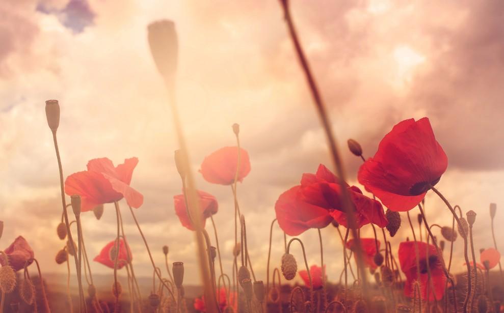 """Blumen mit einer besonderen Bedeutung sind die Mohnblumen. In Großbritannien stehen sie am """"Remembrance Day"""" als Symbol für das Gedenken an die gefallenen Soldaten. (#4)"""