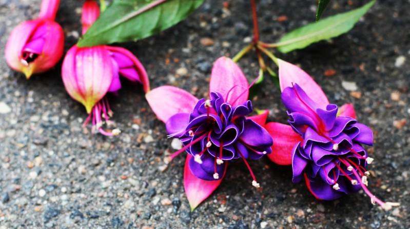 Beim Blumen gießen ist ganz entscheidend, wieviel Wasser die jeweilige Pflanze benötigt. Fuchsien beispielsweise sind sehr durstige Pflanzen und benötigen deutlich mehr Wasser als andere Blumen. (#2)