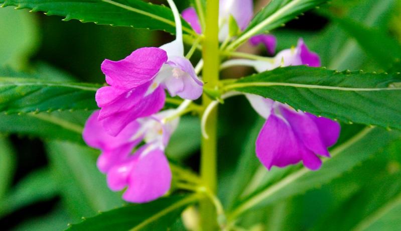 Diese Pflanzen (indische Herkunft) sind mit ihren Blüten schön anzusehen und gelten dennoch als Unkraut.