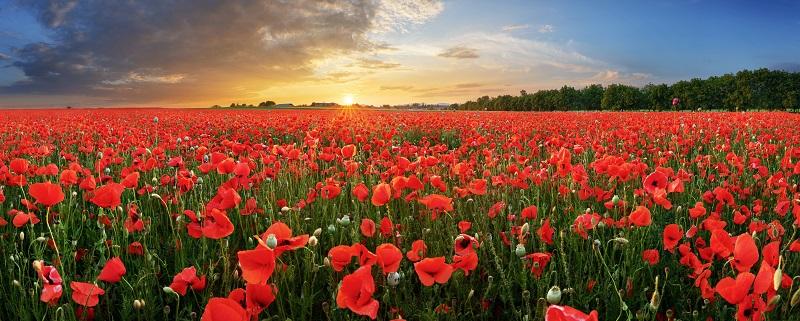 6 außergewöhnliche rote Blumen: Der Klatschmohn, den jeder aus seiner Jugend in Feldern kennt, ist heute eine beliebte Gartenblume. (#05)