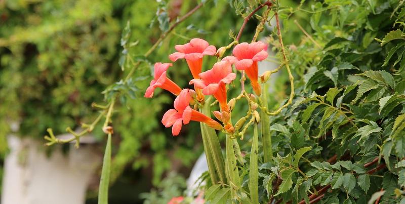 Die Trompetenblume hat ihren Namen durch ihre vielen, kleine Kelche. Diese schauen – mit viel Fanatasie - wie kleine rote Trompeten aus. (#03)