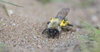Erdbienen: Bienen im Boden?