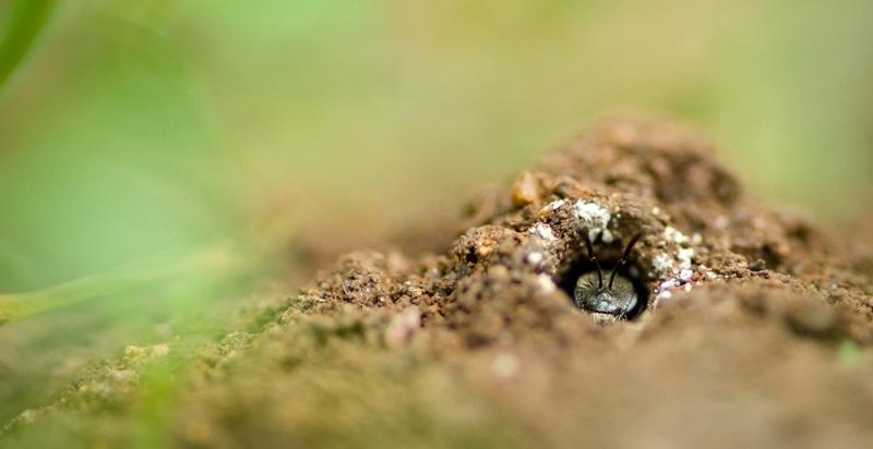 Eine Wildbiene sitzt am Eingang der Bruthöhle.