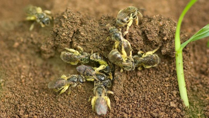 Erdbienen leben bevorzugt im lockeren Erdreich. Die weiblichen Bienen graben Gänge, die in Brutzellen münden.