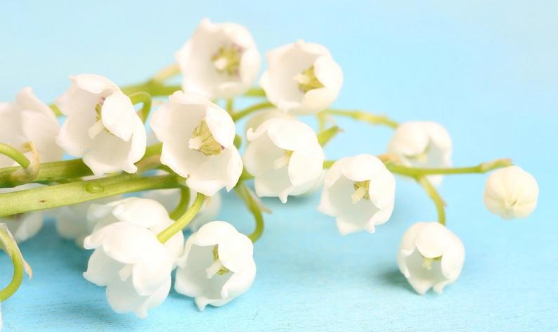Alle Teile des Maiglöckchens - Blüten, Früchte, Blätter, Wurzeln, - sind hoch giftig!