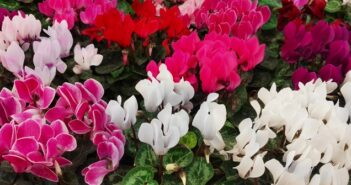 Alpenveilchen: Pflegen, Vermehren & Sorten