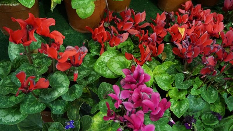 Egal zu welchem Zeitpunkt und aus welchem Grund, die gelben Blätter sollten entfernt werden. Nicht abschneiden, sondern wie die verwelkten Blütenstiele herausdrehen! (#03)
