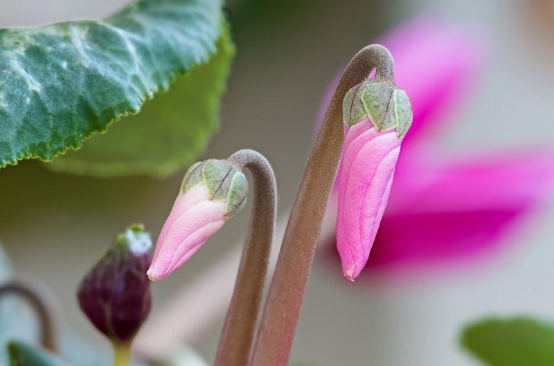 Die Pflänzchen bilden zuerst Knollen, daher vergehen bis zur ersten Blüte mindestens 3 Jahre. (#04)