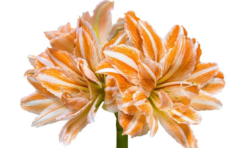 Damit diese Zimmerpflanzen im nächsten Jahr wieder blühen, sammeln sie in der Wachstumsphase — März bis Anfang August — in ihrer Zwiebel neue Kraft.