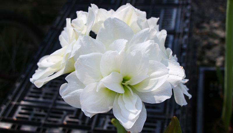 Wer es geschafft hat, seine Amaryllis mit den vorhergehenden vier Pflegepunkten in die Ruhephase zu verabschieden, kann mit einer weiteren Blüte im Winter rechnen.