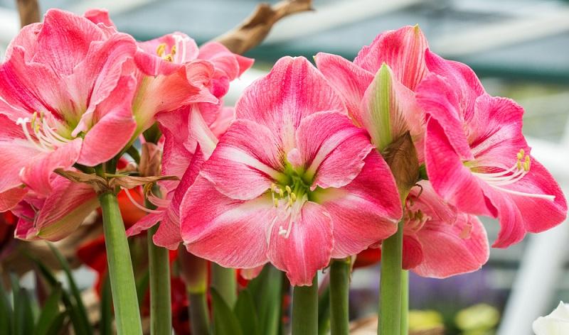 Die Amaryllis — korrekt Ritterstern — erfreut uns mit ihren prächtigen Blüten oft bis in den Februar/März.