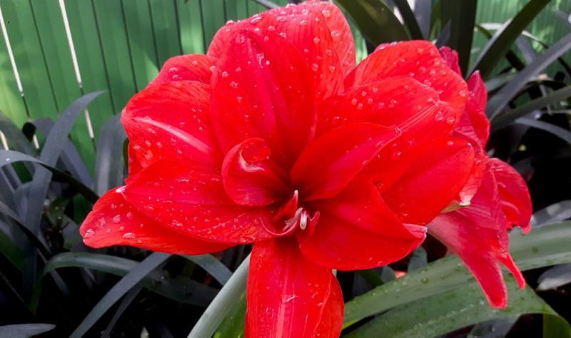 Amaryllis Benfica, mit kräftig dunkelroten Blüten, die einen Durchmesser bis zu 20 cm erreichen können