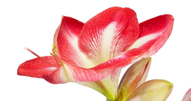 Amaryllis Jewel mit schönen gefüllten, weißen Blüten