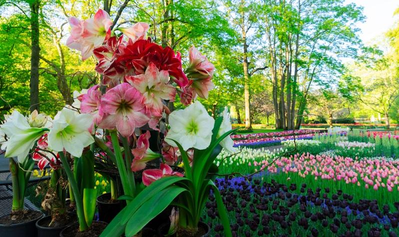 Mit der richtigen Pflege erfreut uns die Amaryllis auch im nächsten Jahr mit einer üppigen Blüte.