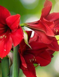 Amaryllis richtig pflegen: Kinderleicht mit diesen 5 Tipps