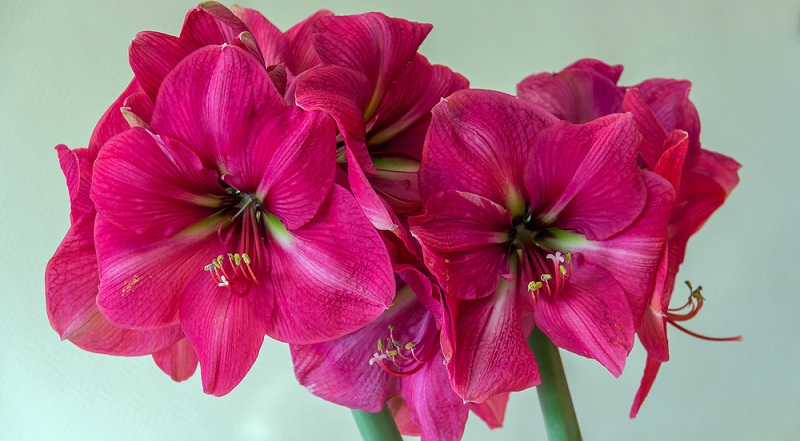 Meistens wird die Amaryllis im Spätherbst als angetriebene Pflanze gekauft. Regelmäßig gegossen wird sie dann jedoch erst, wenn der Blütenschaft gut 10 cm hoch ist.
