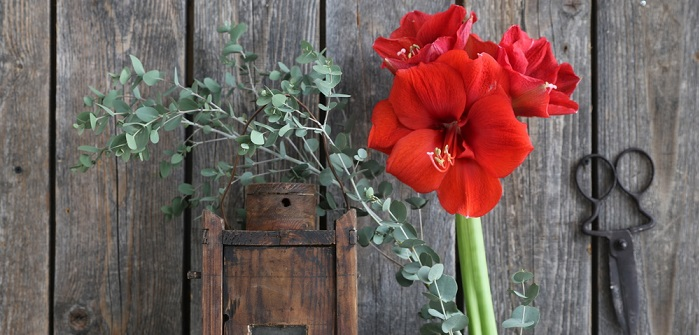 Amaryllis: Pflanzen, Giesen, Schneiden & Umtopfen