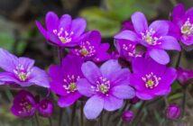 Anemone: Pflanzen, Düngen & Pflege
