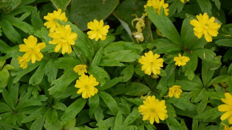 Gelbes Windröschen (Anemone ranunculoides) 15-20 cm Höhe, Blüte März-Mai. Wächst wild , im Garten Halbschatten, breitet sich stark aus
