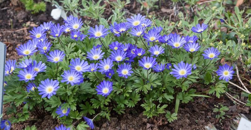 Balkanwindröschen (Anemone blanda), 10-15 cm Höhe, bekannt als Strahlen-Anemone. Blüht ab Februar-/März in Weiß, Blau und Rosa