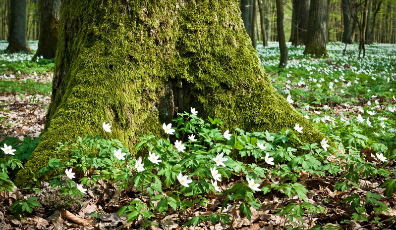 Großes Waldwindröschen gefüllt (Anemone sylvestris) Sorte Flore Pleno Elise Fellmann, 20-35 cm Höhe, Blüte Mai-Juni. Reinweiß, gefüllte wunderschöne Anemone, passt zwischen und vor Gehölze