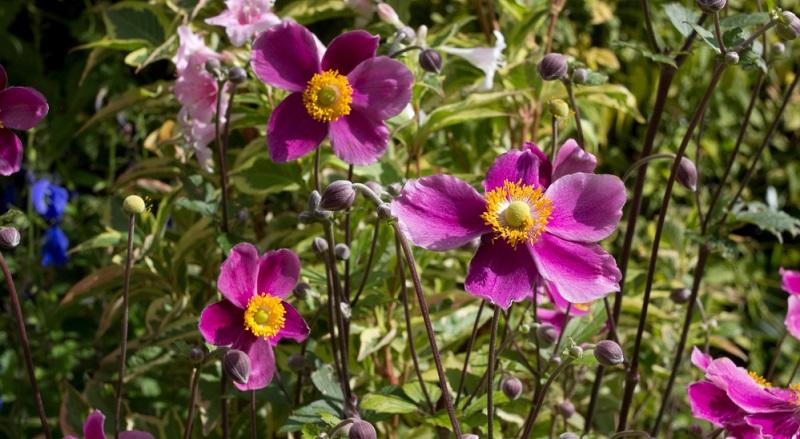 Anemone hupehensis fo. alba, 90-130 cm, Blüte August-Oktober. Cremeweiß, ungefüllt, robust, reichblühend und gute Standfestigkeit