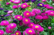 Astern: Pflanzen, Pflege & Düngen
