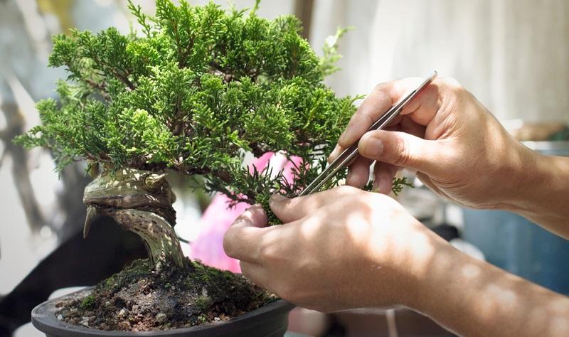 Bonsai Pflege aber richtig, auch schneiden will gelernt sein.
