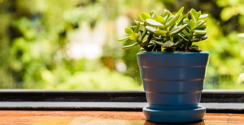 Bonsai Anfänger: Der Jadebaum mit seinen fleischigen Blättern eignet sich gut.