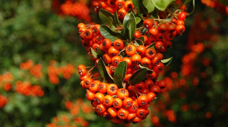 Der FeuerdornDer Feuerdorn trägt knallig rote Beeren. trägt knallig rote Beeren.