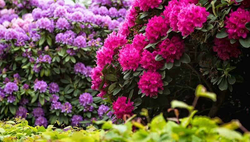 Eine wahre Farbenpracht zaubert der Rhododendron in den Garten.