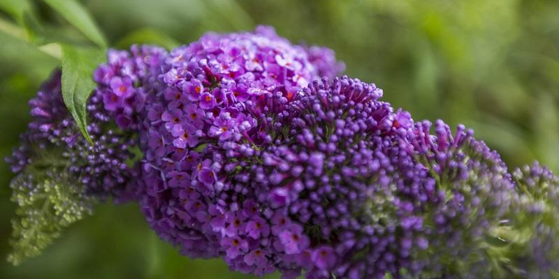 wunderschöne, kräftige Blüten zeichnen den Schmetterlingsstrauch aus