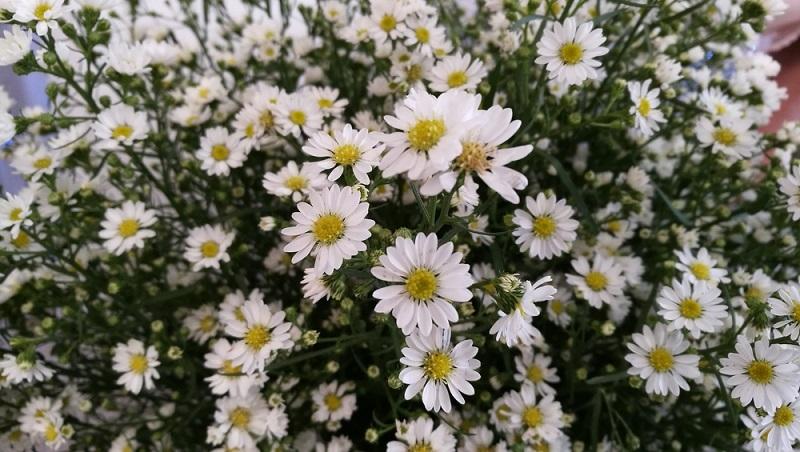 Erika- oder Myrtenaster (Symphyotrichum ericoides) bis 140 cm, wächst als Busch und blüht bis in den November in Zartlila, Rosa oder Weiß