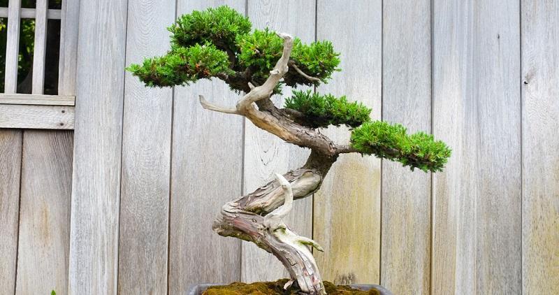 Bonsai schneiden: die Chakkan Form
