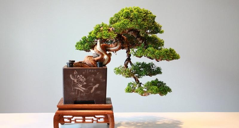 Die Kaskaden Bonsai Form auch Kengai genannt ist besonders schön.