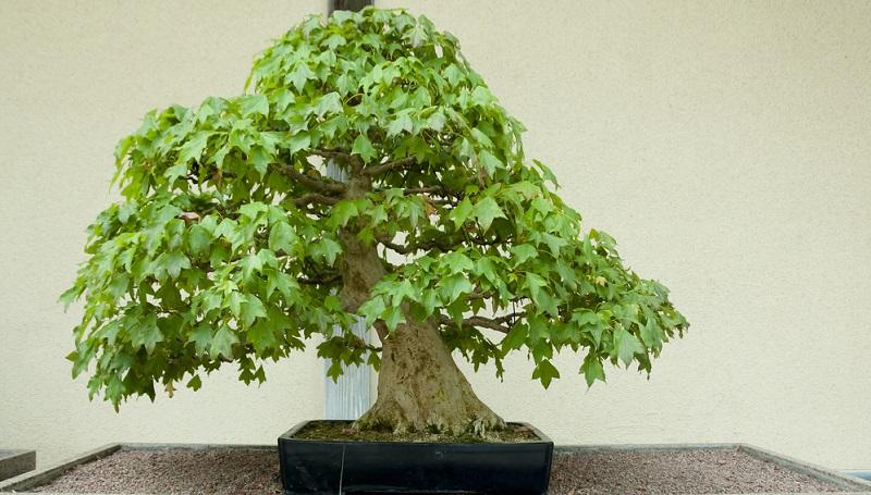 Bonsai schneiden: Nur durch den Blattschnitt erzielt man bei bestimmten Laubbaumarten Blattgrößen, die zur Baumgröße passen.