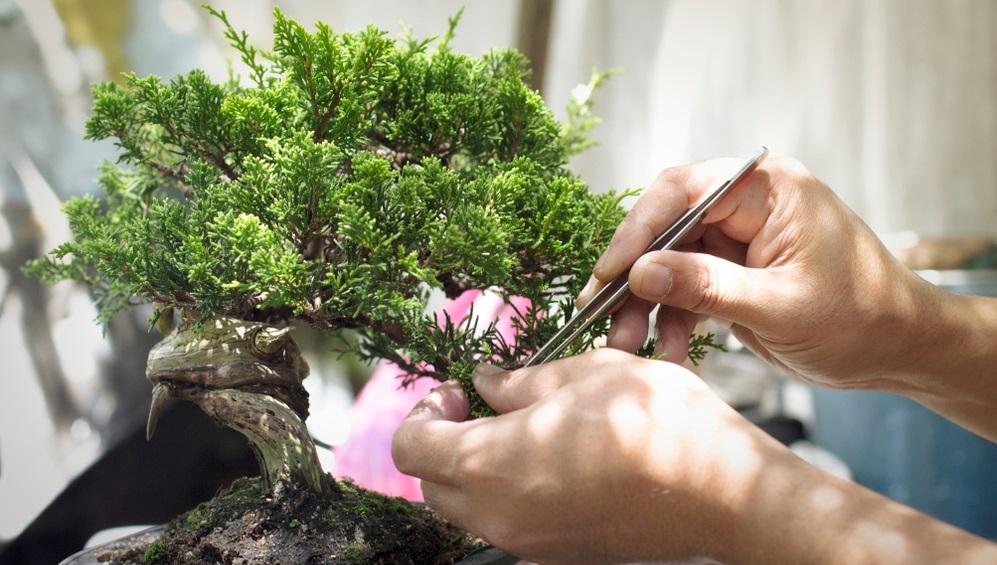 Nadelbäume beim Erhaltungsschnitt besser zupfen statt schneiden.